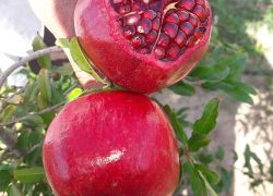 Wonderfol cultivar pomegranate sapling