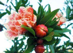 Golnar parsi pomegranate sapling