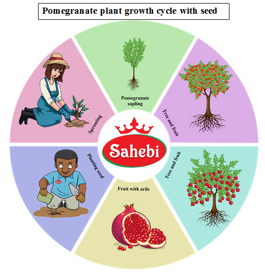 Pomegranate plant growth cycle with seed